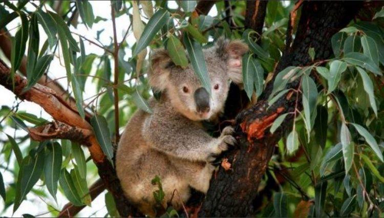 0 Koala